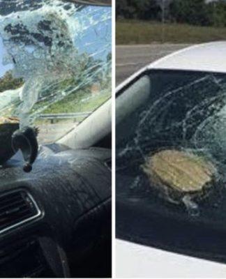 Tartaruga voadora causa acidente de trânsito nos EUA